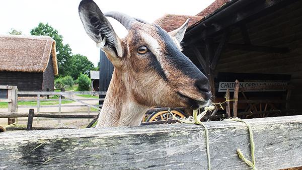 Goats-600px