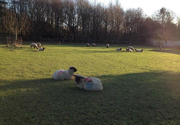 2015 museum lambs