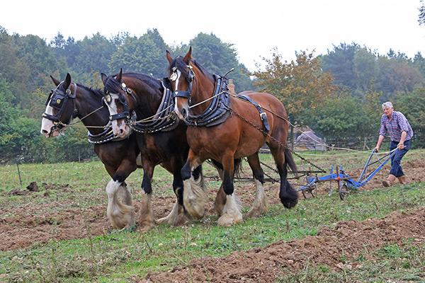 Working Heavy Horses