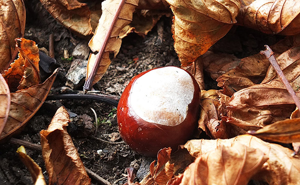Conker on woodland floor