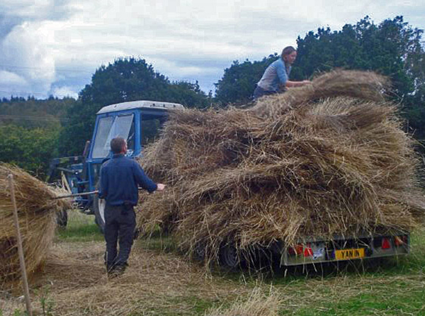 Loading rye sheaves onto the trailer