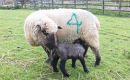 Lambing event Buckinghamshire