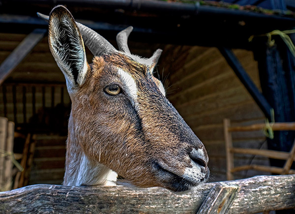 Goats at Chiltern Open Air Museum