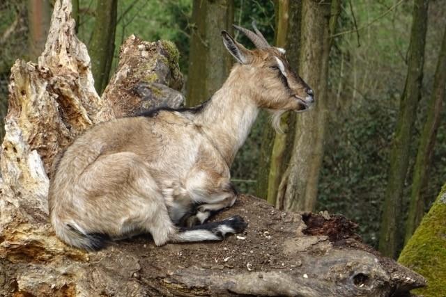 Goats at COAM