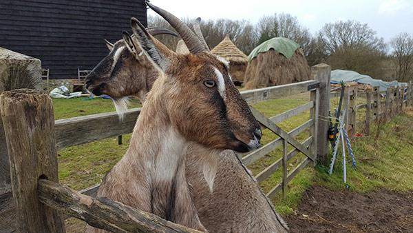 goats-COAM-JS-600px