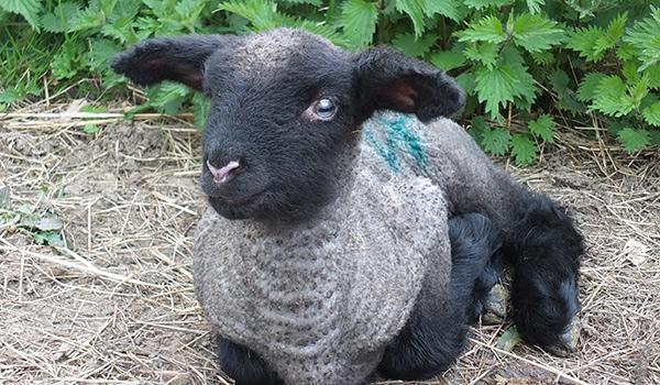 Lambing time at COAM