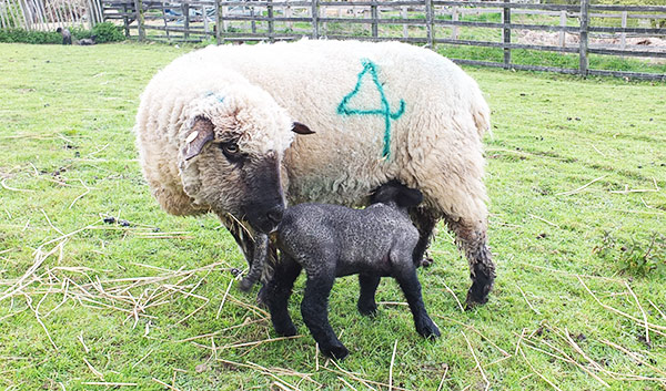 Lamb feeding at COAM