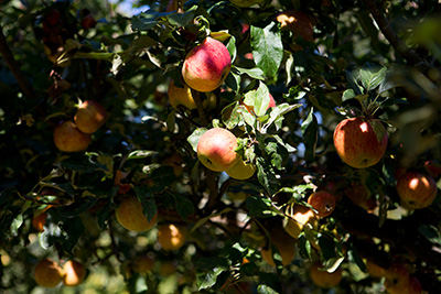 Apple orchard at COAM