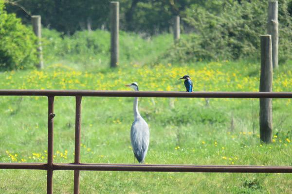 Colne Valley Regional Park Heron