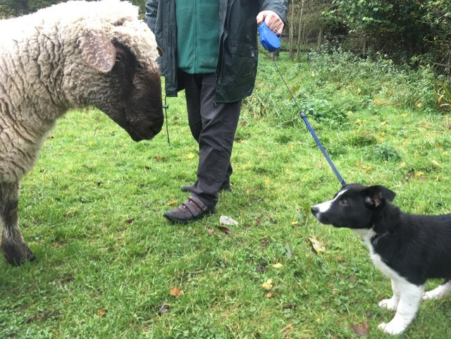 Jess the sheep dog puppy meets the sheep