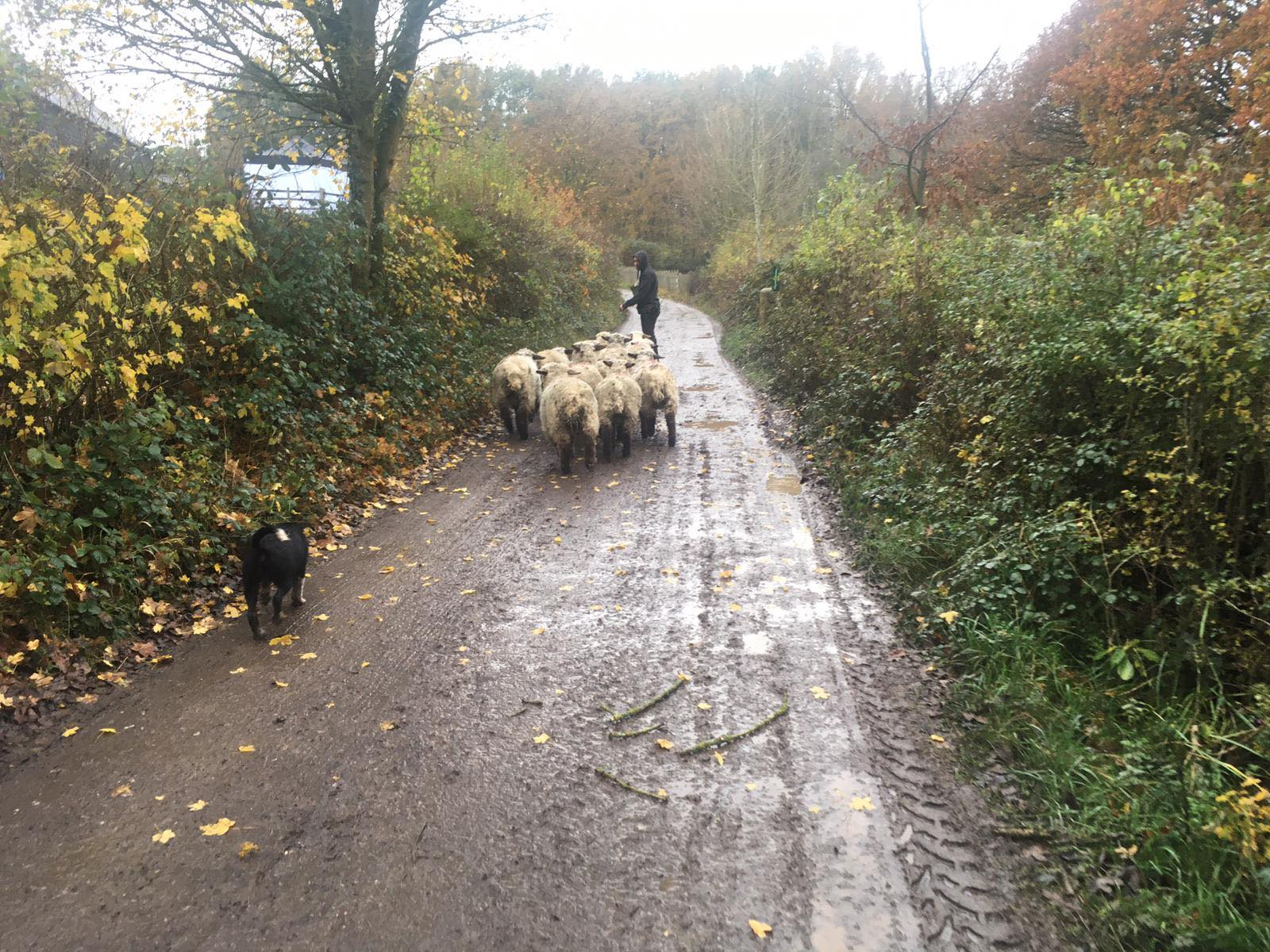 Sheep dog puppy walking sheep up path