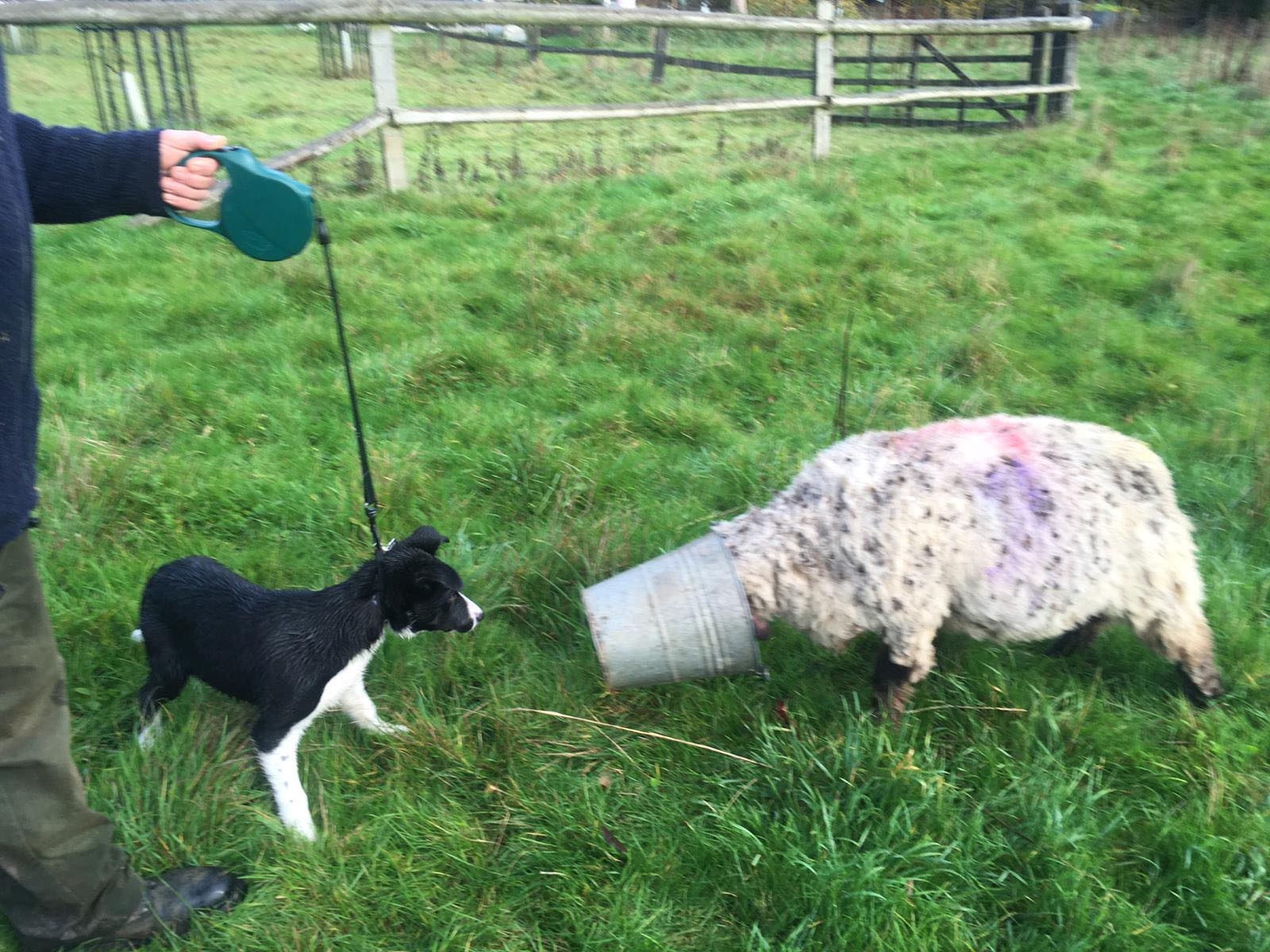 sheep dog puppy observing sheep with head it's head in a bucket