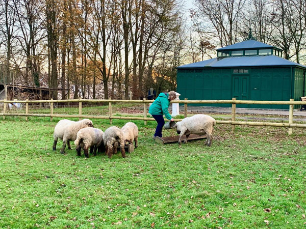 Volunteer feeding sheep